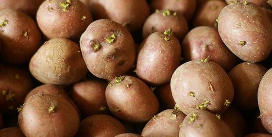 Готовим картофель к посадке, подготовка семенного картофеля