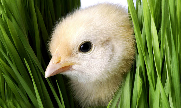 Основные причины гибели маленьких цыплят
