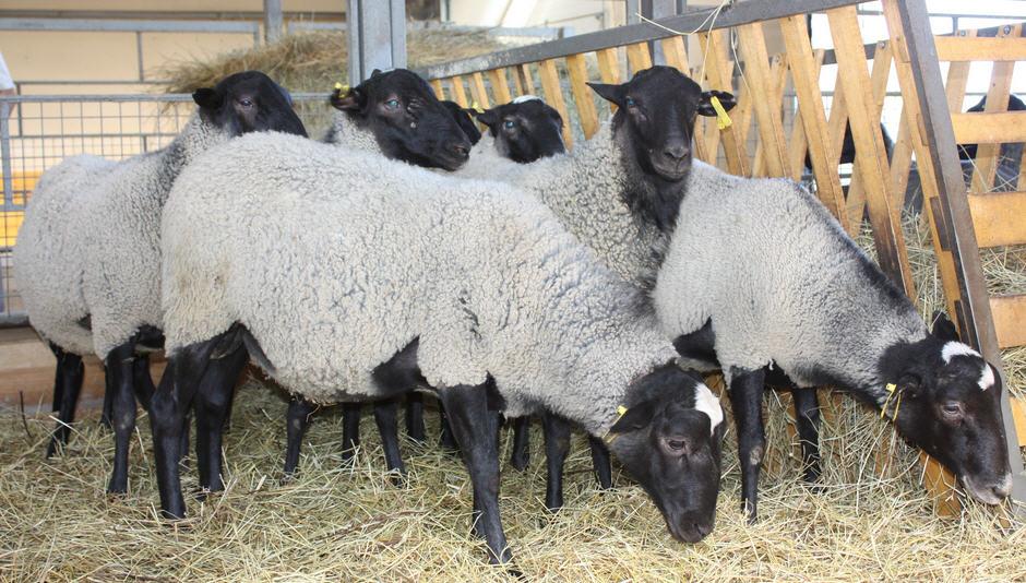 Овцы Романовской породы, стрижка, содержание, уход