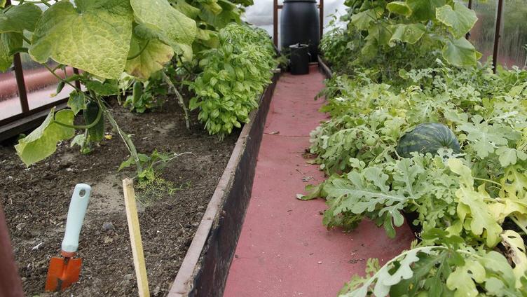 Выращивание арбузов в теплице, на что обратить внимание