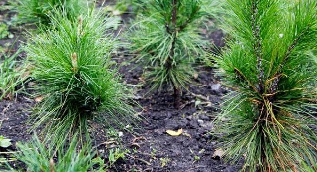 Советы, как вырастить сибирский кедр