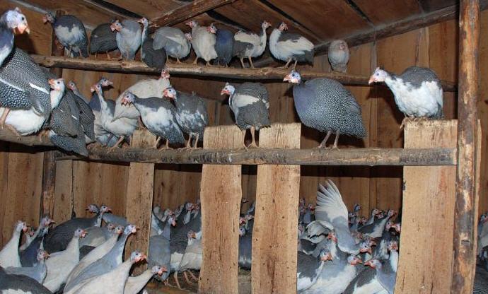 цесарки в птичнике