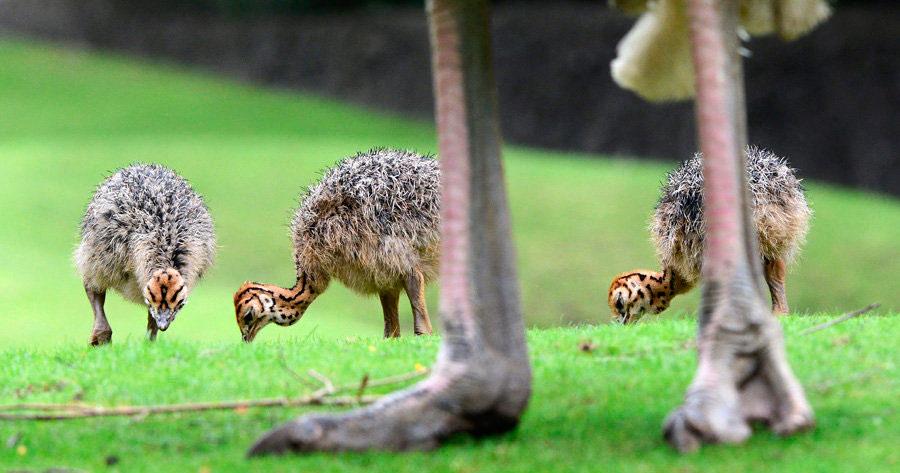Нюансы выращивания страусят – от теории к практике
