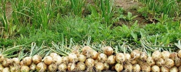 Хотите иметь богатый урожай лука?