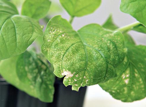 Причины белых пятен на листьях молодого перца