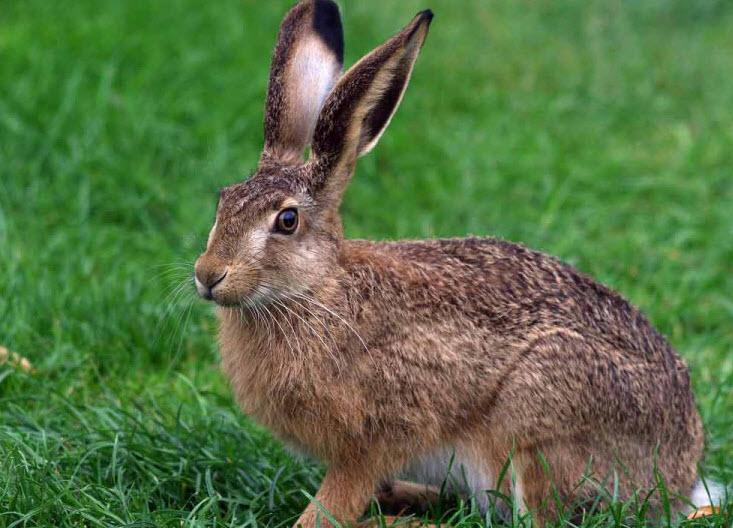 Особенности охоты на зайца с использованием петель