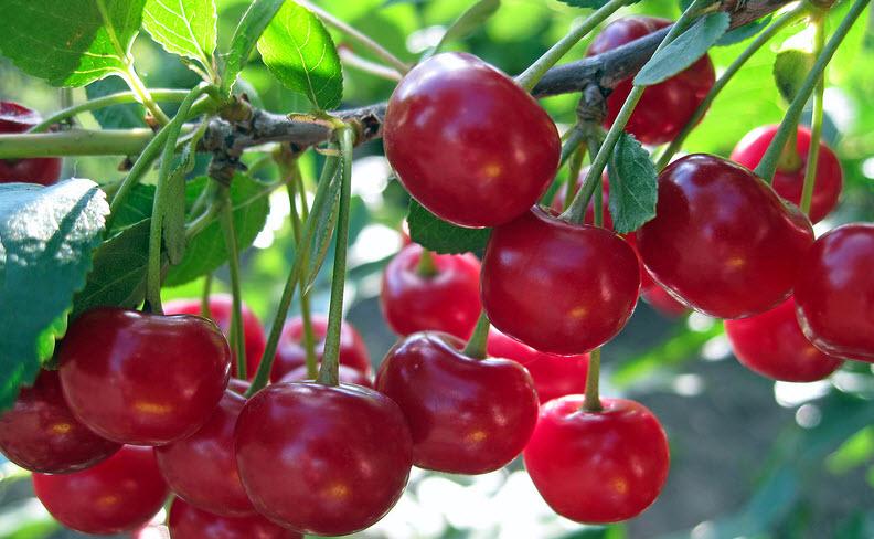 Вишня и черешня: особенности выбора сорта и выращивания ягод-сестёр