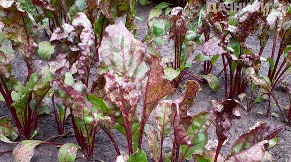 скручиваются листья у свеклы что делать