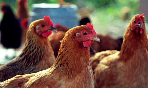 Частые болезни цыплят