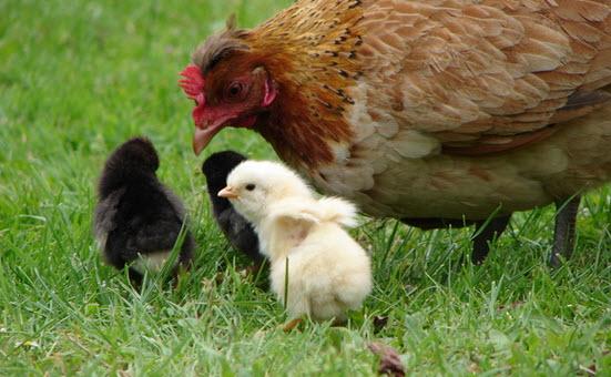 Выращивание молодых птиц наседками