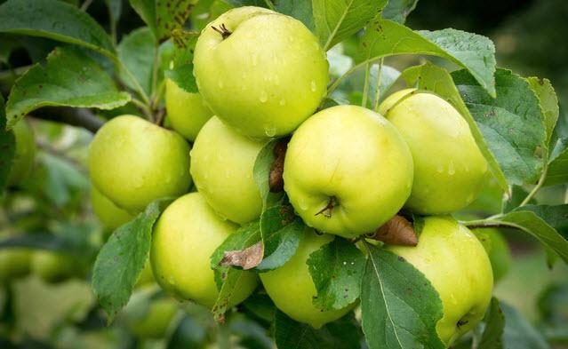 Колонновидные фруктовые деревья – сад в миниатюре