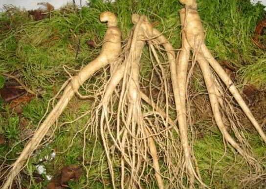 корень для настойки женьшеня