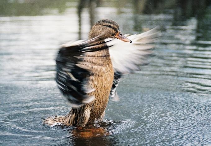 Охота на утку в осенний период