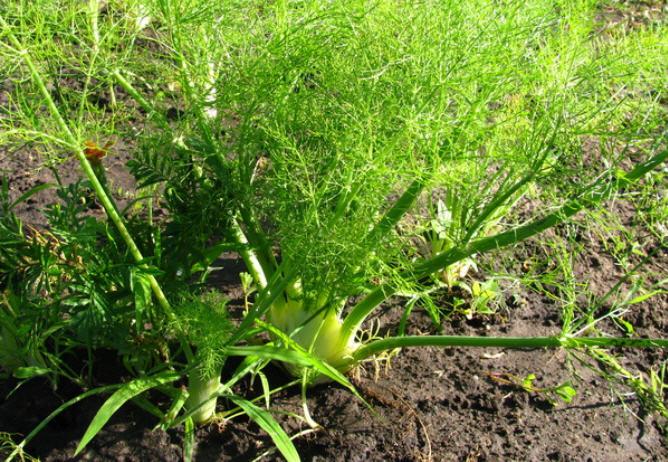 Как вырастить фенхель на дачном участке