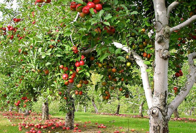 Самые подходящие сорта яблонь для Подмосковья на 2017 год