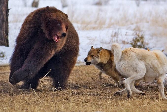 собаки и медведь