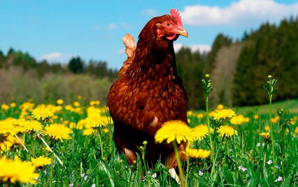 курица род айланд
