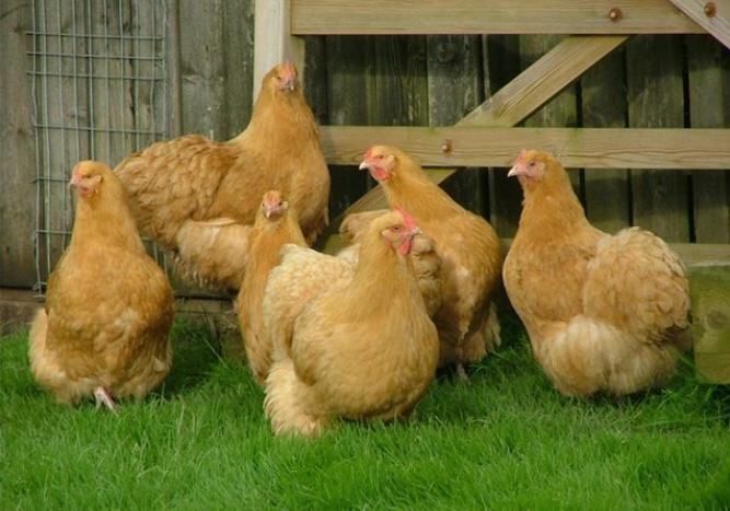 орпингтон порода кур