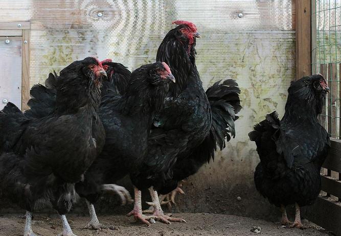 черные бородатые куры в курятнике