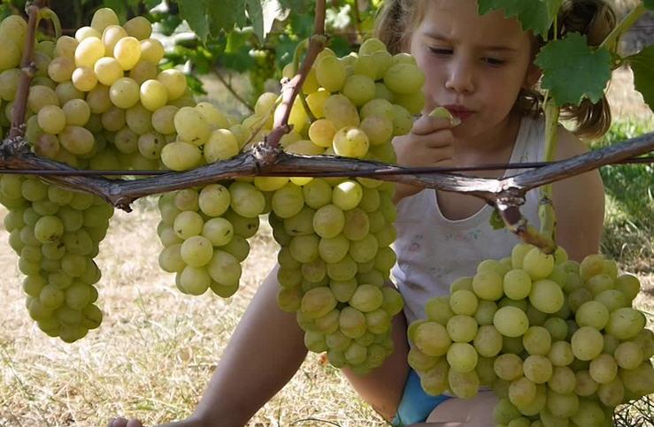 сорт винограда Флора - он же Лора