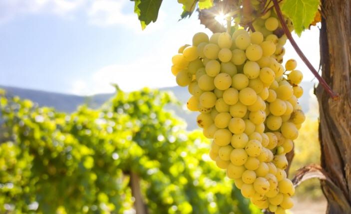 винограданая гроздь