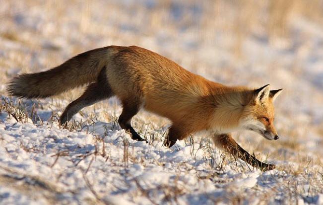 Охота на лису  в зимний сезон