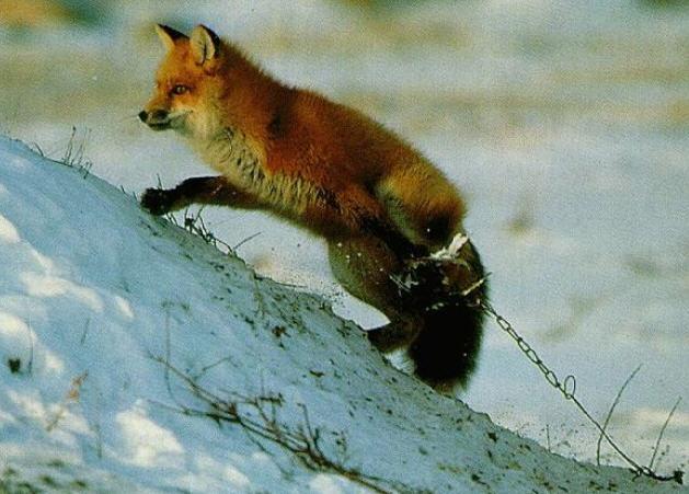 лиса попала в капкан зимой