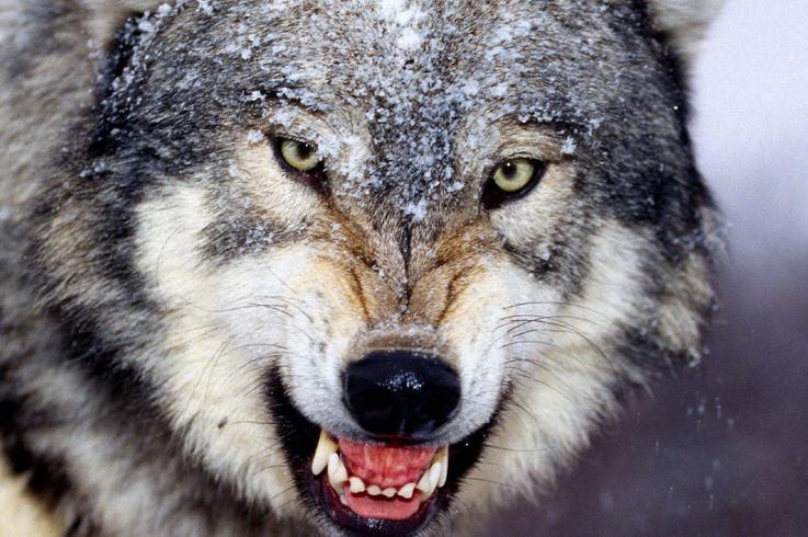 Как охотятся на волка с капканами, флажками