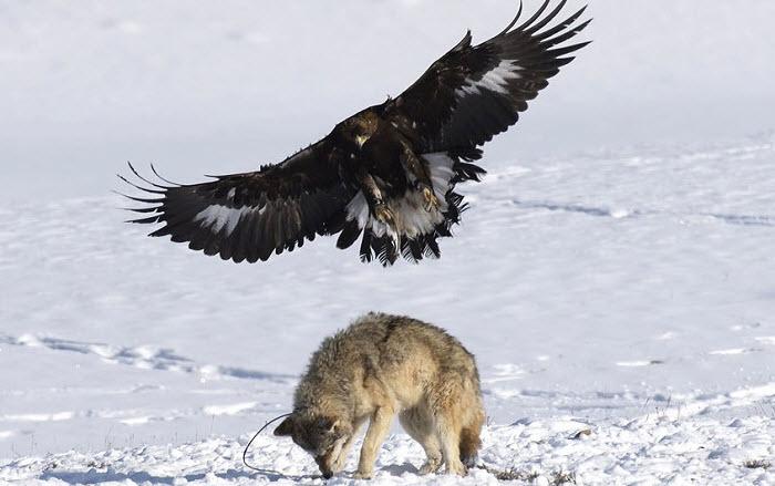 Охота Беркутом на волков