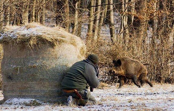 Дикий кабан – виды охоты на него