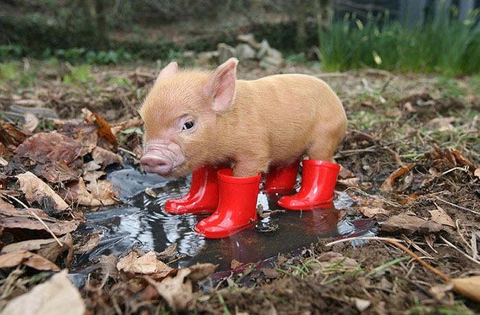маленькая карликовая свинка