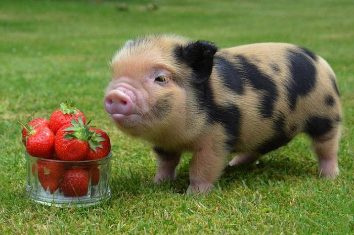карликовая свинка и клубника