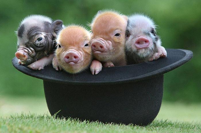 карликовые свинки в шляпе