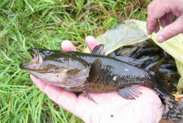 ловля ротана удачная рыбалка