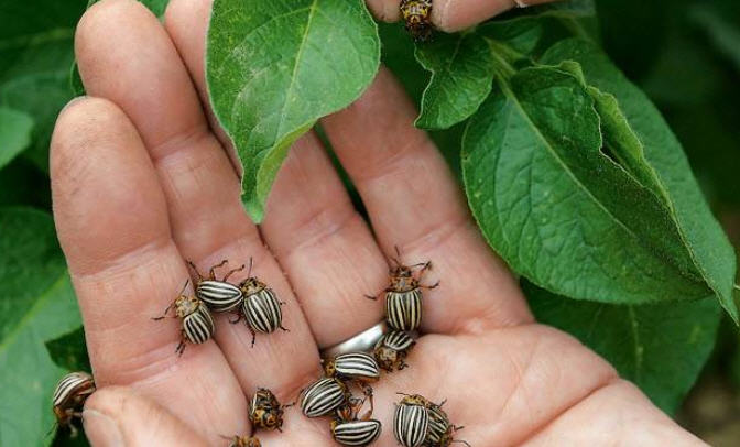 колорадский жук в руке