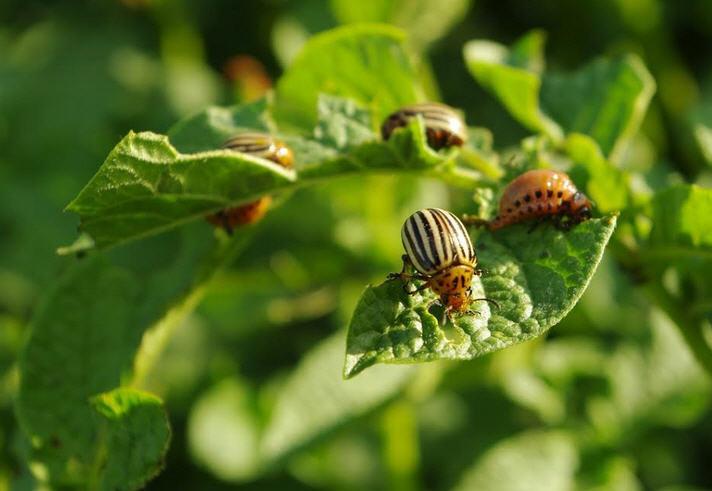 Самцы колорадского жука