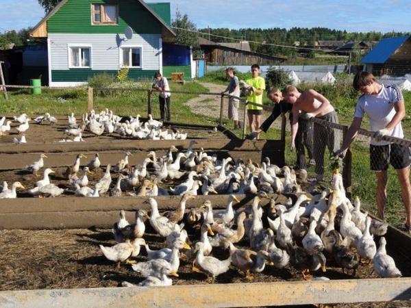 Подросшие инкубаторские утки в загоне