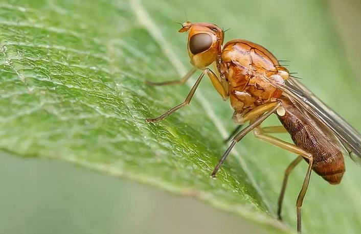 Морковная муха: причины появления и методы борьбы
