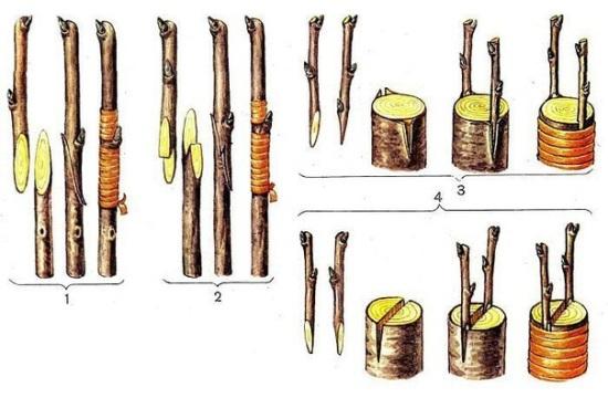 как обрезать и прививать яблоню