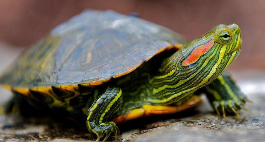 Красноухие черепахи - Кто они, эти загадочные существа?
