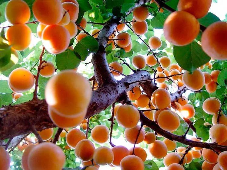Абрикосы: посадка, выращивание, уход