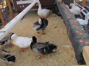 Содержание гусей зимой в теплице