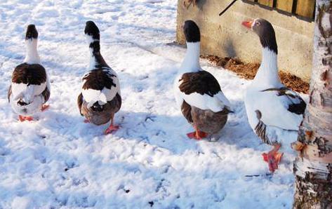гуси гуляют по снегу