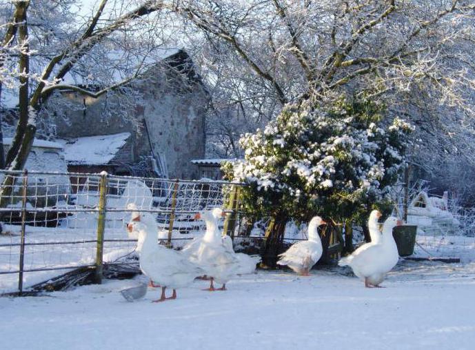 Содержание гусей зимой в Сибири