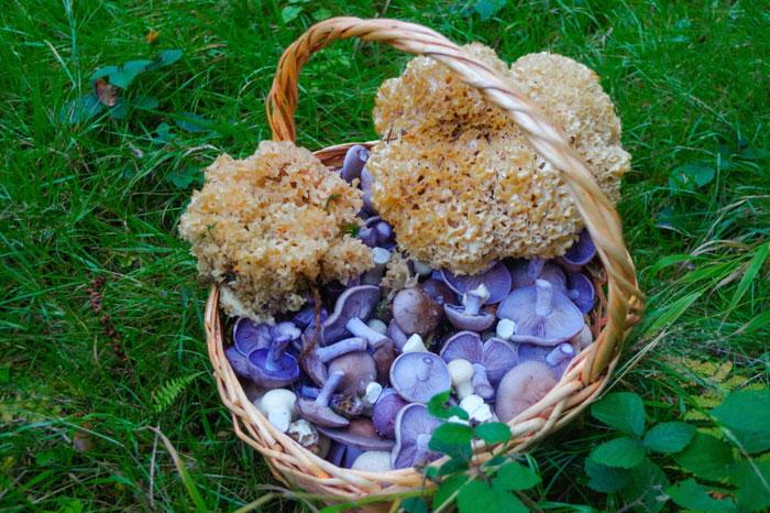 Рядовка фиолетовая — условно съедобный гриб