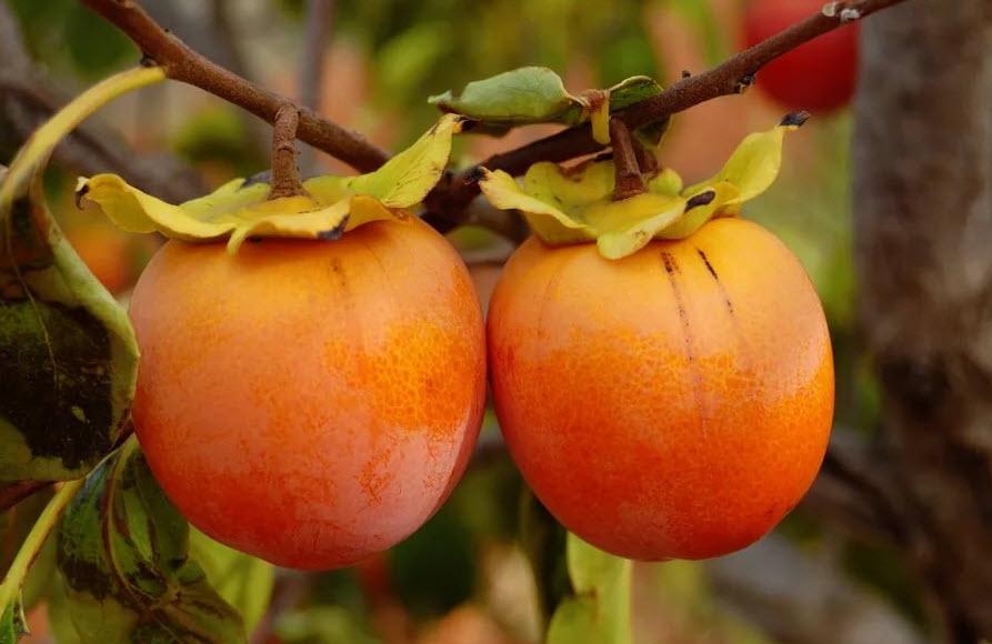 плод хурмы на ветке