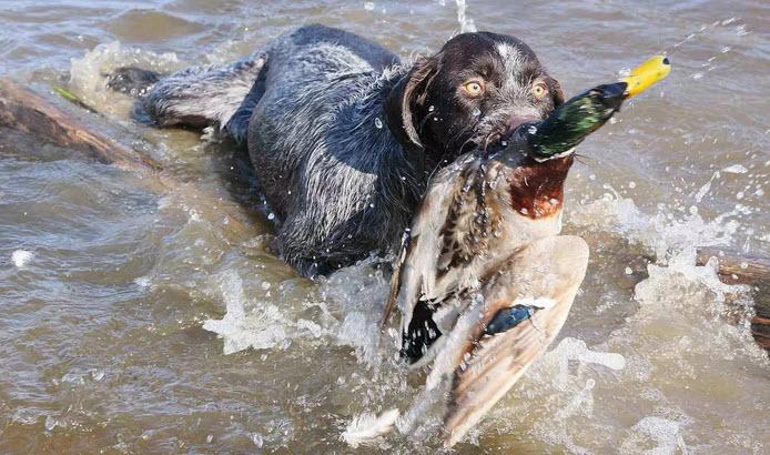 охота на уток собака с уткой в зубах