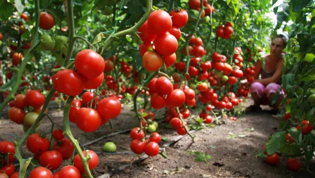 Лучшие сорта томатов на 2018 год