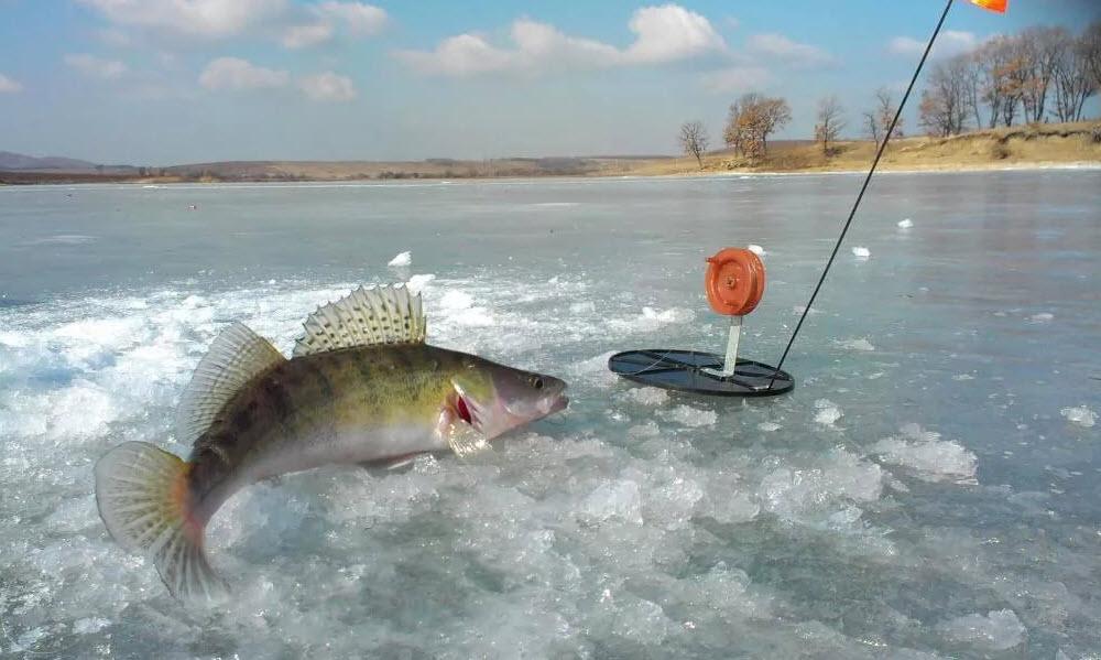 Зимняя ловля судака на жерлицу