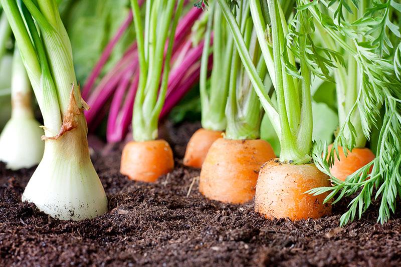 Быстрый и удобный метод посадки моркови